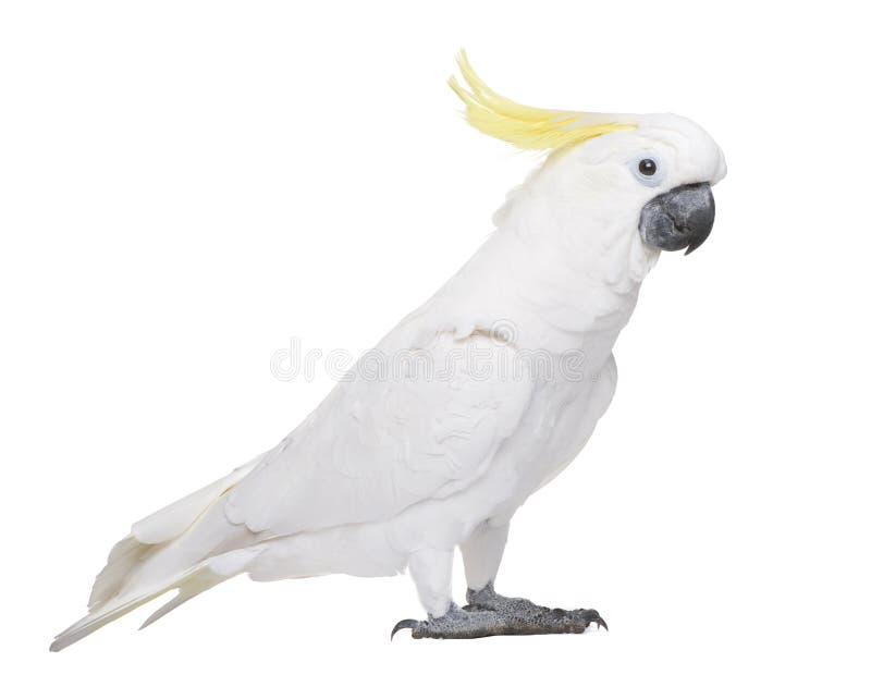 soufre crêté de galerita de cockatoo de cacatua photos libres de droits