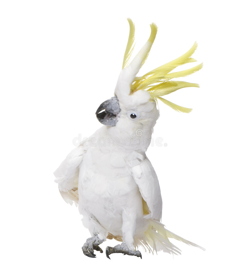 soufre crêté de galerita de cockatoo de cacatua