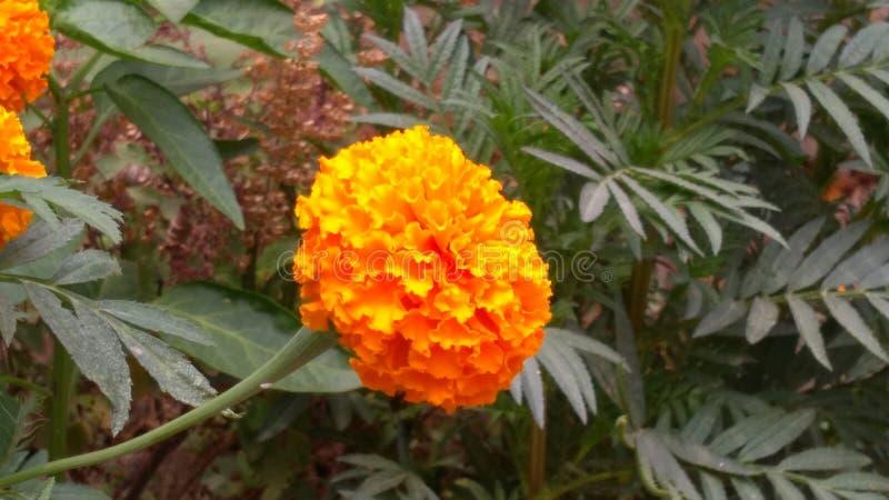 Soul refreshing marigold stock photos