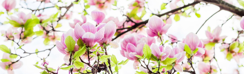 Soulangeana blossoming, время магнолии весны стоковые изображения