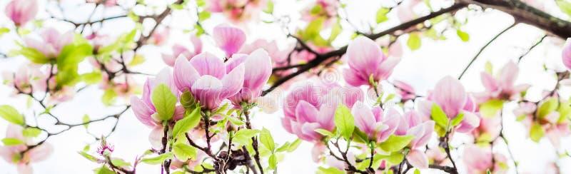 Soulangeana Magnolia που ανθίζει, χρόνος άνοιξη στοκ εικόνες