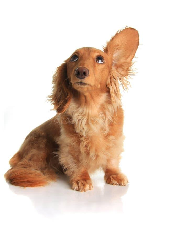 Sound dog. Funny dachshund dog listening to music