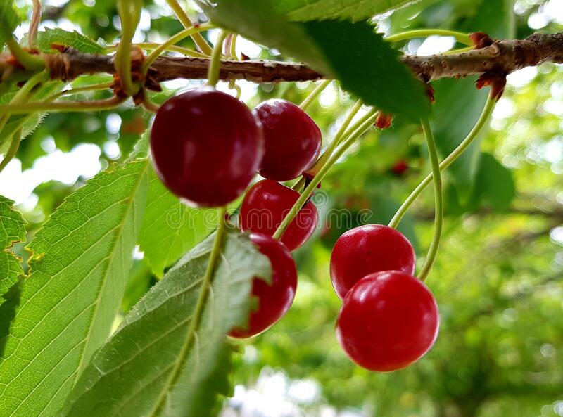 Sour cherries on tree branch. Fresh red fruits. royalty free stock photo