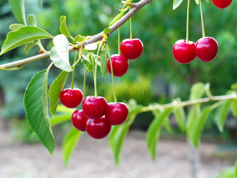 Sour cherry fruit. Natural macro shooting in sour cherry tree soft juice core dessert stack background agriculture sunday sales saturn flat tomato figure stock photography