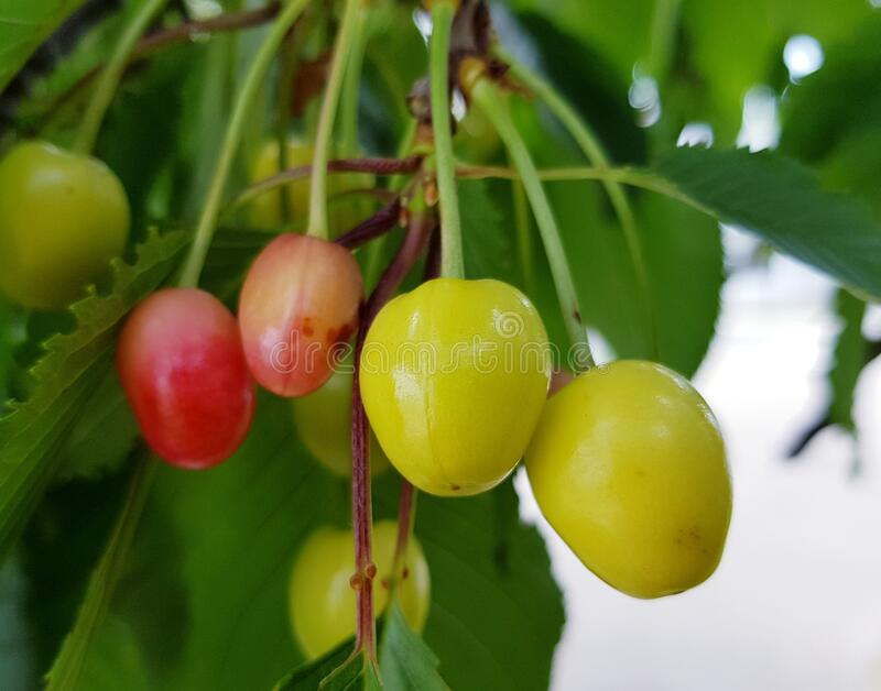 Sour cherries on tree branch. Fresh red fruits. stock photo