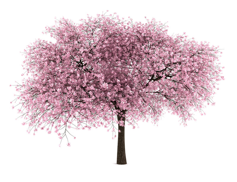 Sour cherry tree isolated on white stock illustration
