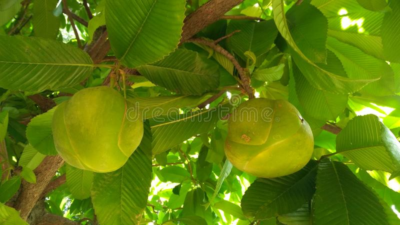 A sour fruit which you can make curry royalty free stock images