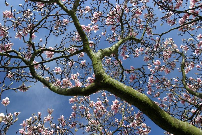 Download Source ! photo stock. Image du magnolia, pourpré, arbre - 91596