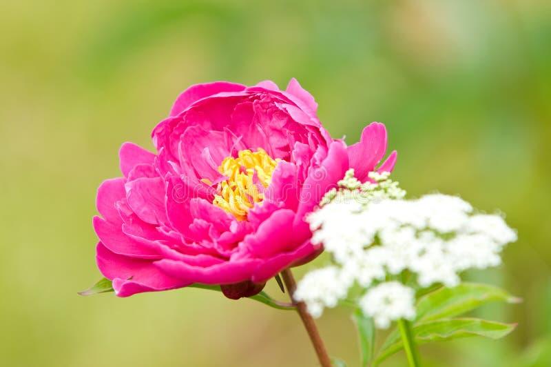Source fleurissant dans le jardin images libres de droits