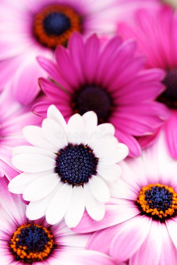 Source rose image libre de droits
