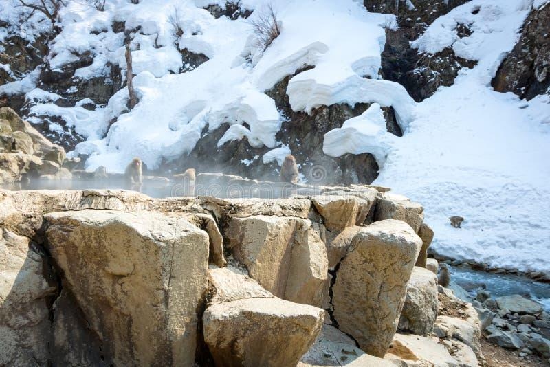 Source thermale de singe de neige de Jigokudani, Nagano Japon images libres de droits