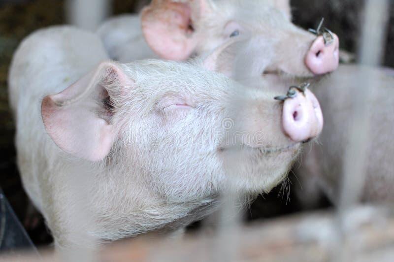 Sourire de porc photo libre de droits