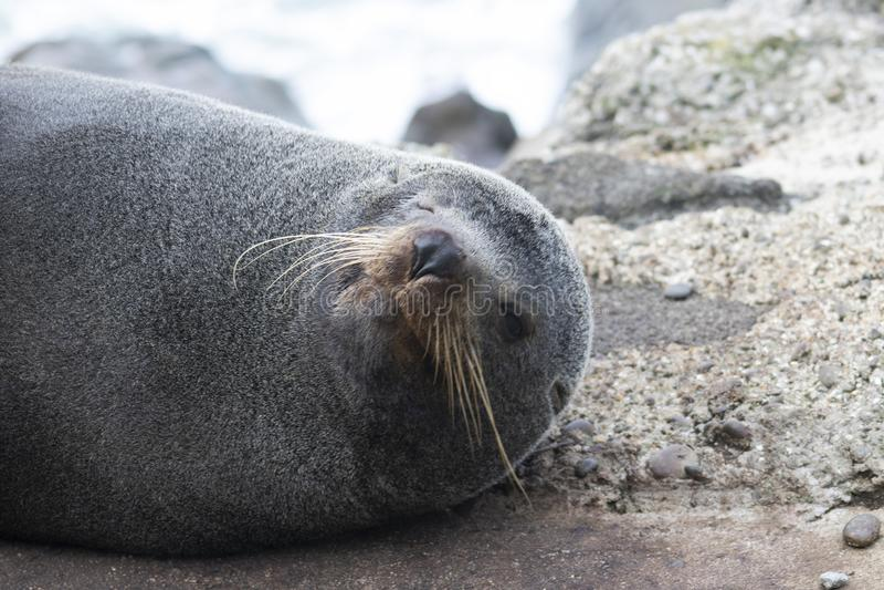 Sourires d'un phoque de fourrure du Nouvelle-Z?lande pour la cam?ra images stock