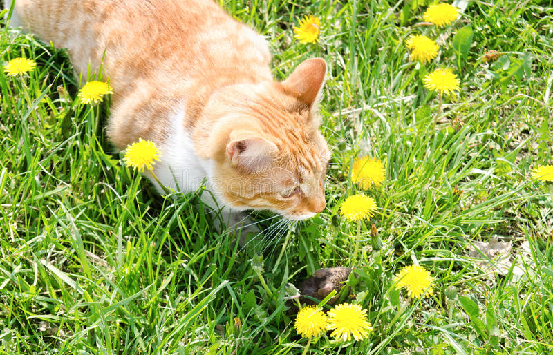 Souris contagieuse de chat rouge dans l'herbe images stock
