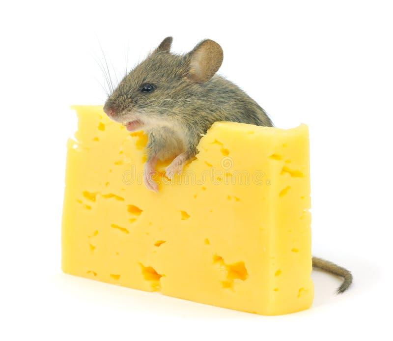 Souris et fromage photographie stock libre de droits