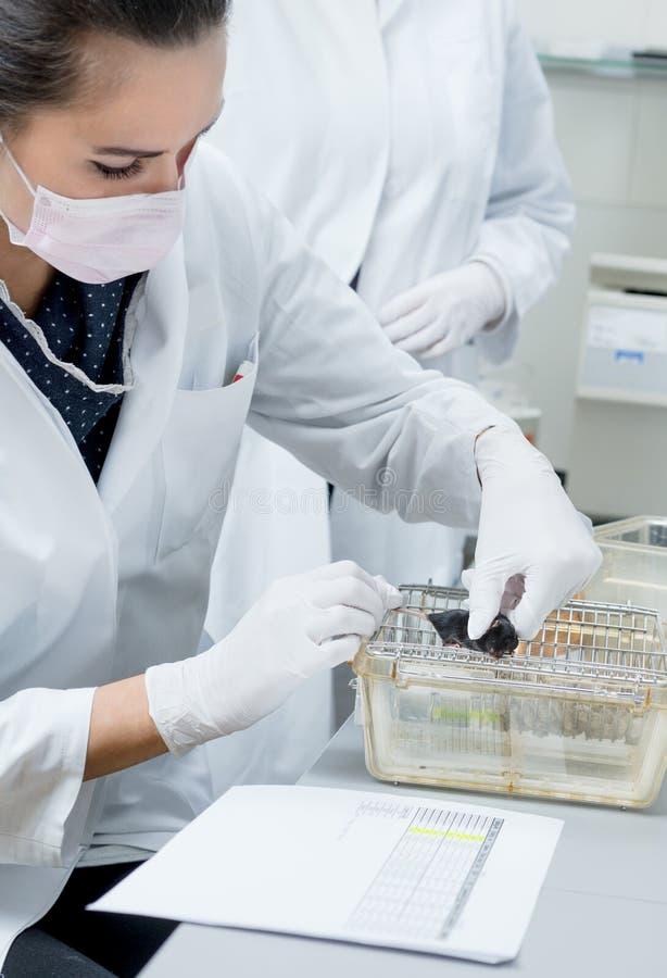 Souris femelle de laboratoire de poignées de scientifiques photographie stock libre de droits