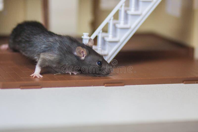Souris grise Souris grise de rat dans la maison Invit? inattendu photographie stock libre de droits