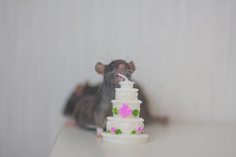Souris, rat gentil avec le gâteau l'anniversaire doux de gâteau célèbrent photos stock