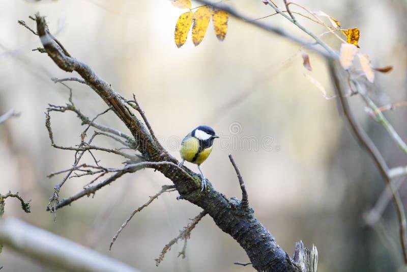 Souris sur une branche d'arbre dans la forêt photo libre de droits