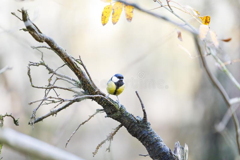 Souris sur une branche d'arbre dans la forêt image libre de droits