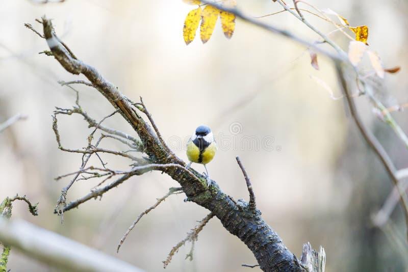 Souris sur une branche d'arbre dans la forêt photo stock
