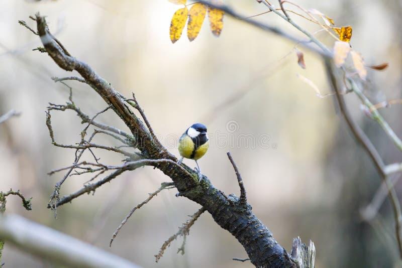 Souris sur une branche d'arbre dans la forêt photographie stock