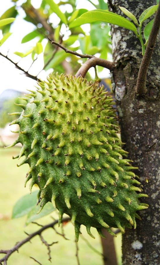 Soursop - fruto foto de stock royalty free