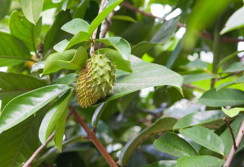 Soursop owoc na drzewie zdjęcie royalty free