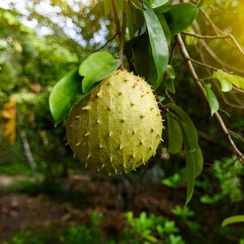 Soursopen eller taggig vaniljsås Apple är den muricata frukten av annonaen Det är infött till de tropiska regionerna av Americasn fotografering för bildbyråer