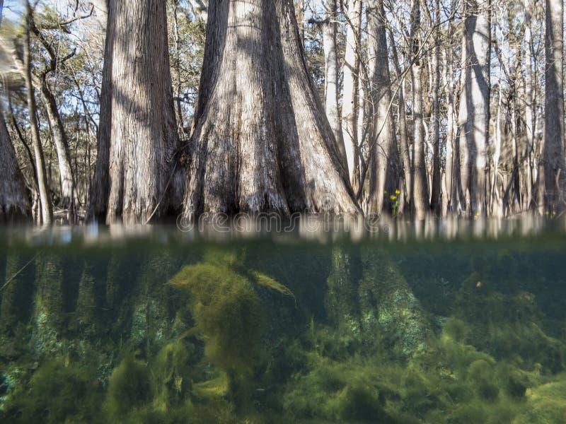 Sous et au-dessus de la vue de l'eau des arbres de cyprès image stock