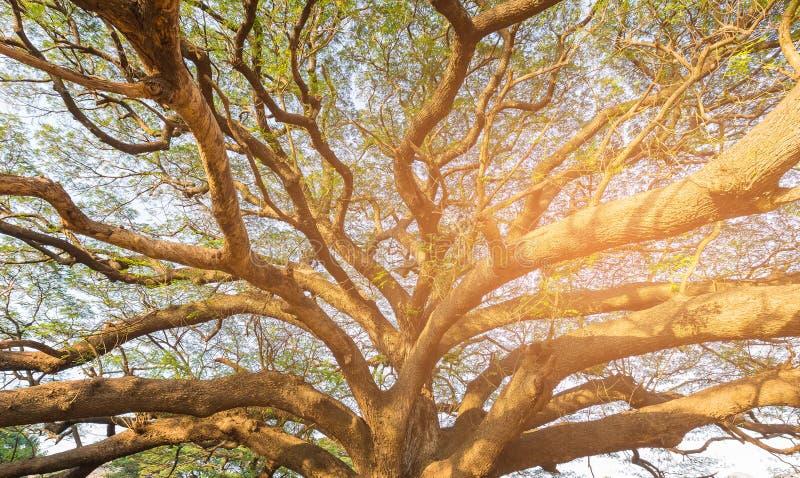 Sous la grande branche d'arbre géante contre la lumière du soleil photos stock