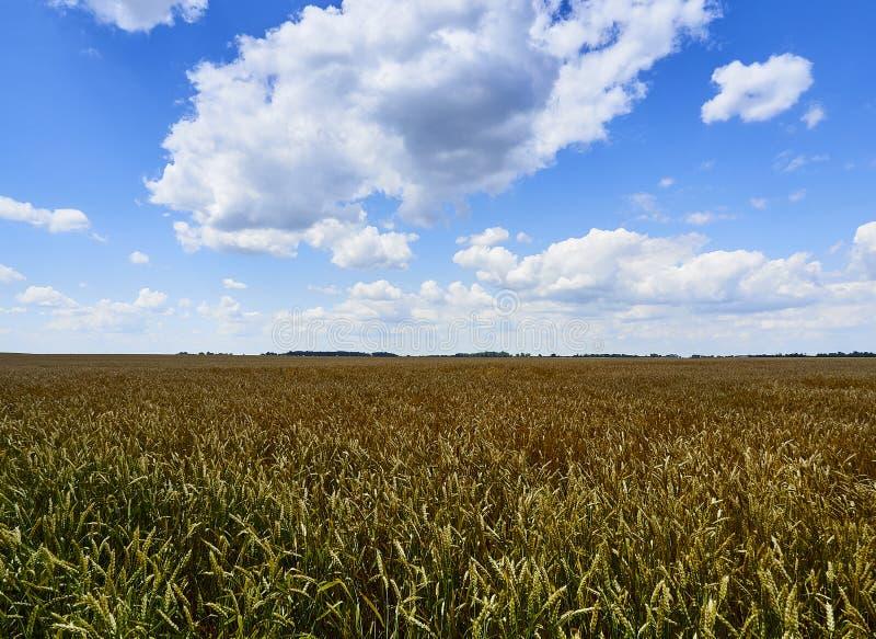 Sous le ciel bleu sans fin, mensonges le même champ du blé illimité photo libre de droits