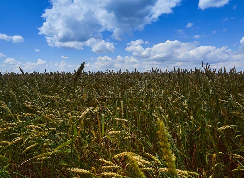 Sous le ciel bleu sans fin, mensonges le même champ du blé illimité images libres de droits