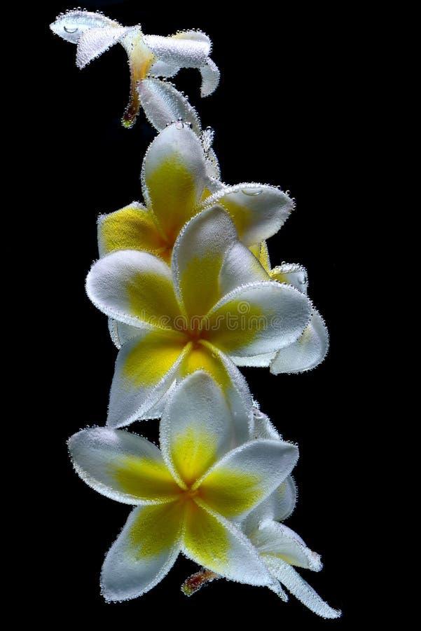 Sous le frangapani blanc de l'eau le plumeria fleurit sur le fond noir avec le montant considérable de petits bulles d'air Macro  photos libres de droits