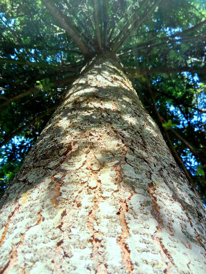Sous le grand arbre de sapin photos stock
