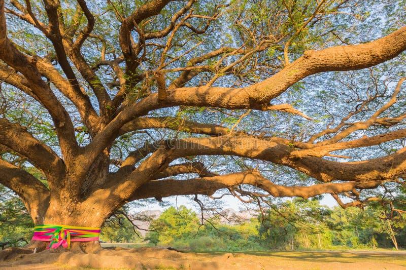 Sous le vieux grand arbre géant image stock