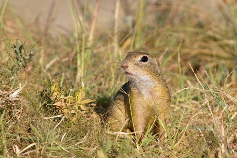 Souslik ou écureuil au sol européen (Spermophilus photos stock