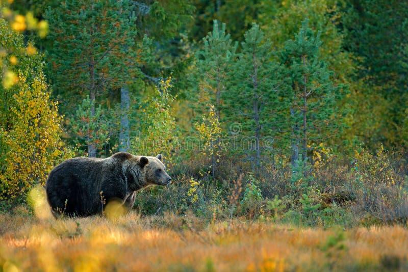 Soutenez caché dans les arbres jaunes d'automne de forêt avec l'ours Bel ours brun marchant autour du lac avec des couleurs de ch photos libres de droits