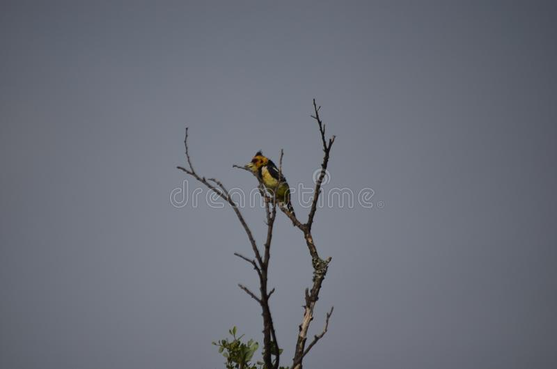 Colorful Bird in Bush and Buck nature royalty free stock images