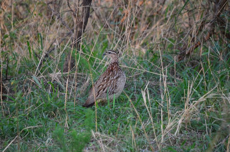 Speckled Bird in Bush and Buck nature royalty free stock photo
