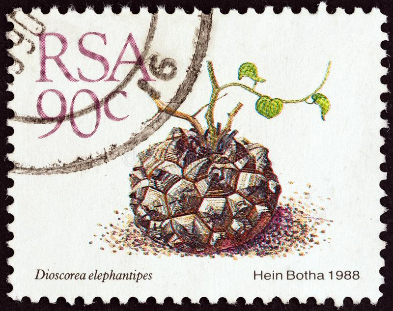 SOUTH AFRICA - CIRCA 1988: A stamp printed in South Africa shows Elephant`s foot Dioscorea elephantipes, circa 1988. SOUTH AFRICA - CIRCA 1988: A stamp printed royalty free stock image