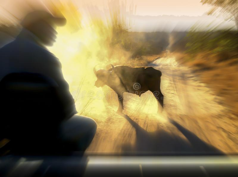 Encounter with a Cape Buffalo during a big five game drive at dawn stock photos
