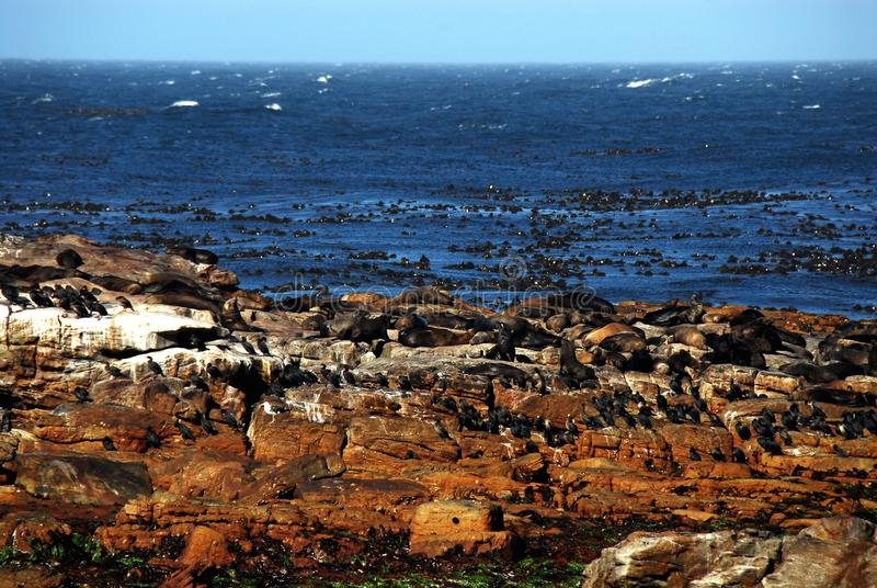 Africa- Cape of Good Hope rocks with Seals and Birds stock image