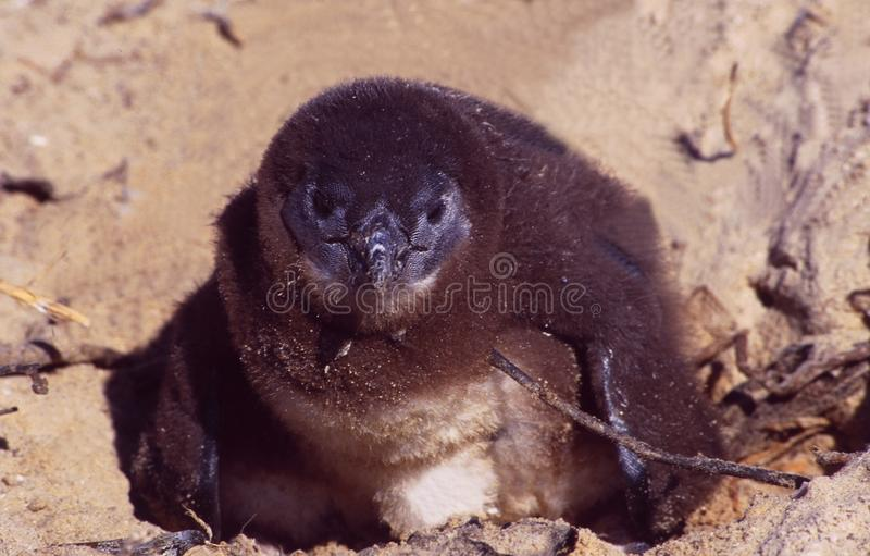 South Africa: A few hours old Cape-Pinguin at Boulder Bay. Beach near Cape Town stock photo