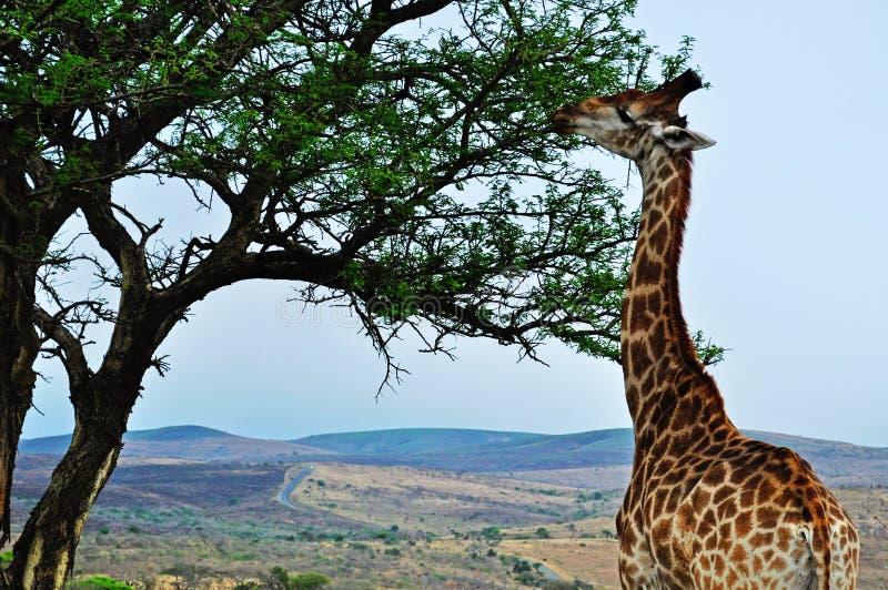 South Africa, Hluhluwe Imfolozi Game Reserve, KwaZulu-Natal. Safari in South Africa, 28/09/2009: a giraffe feeding in Hluhluwe Imfolozi Game Reserve, the oldest royalty free stock photos