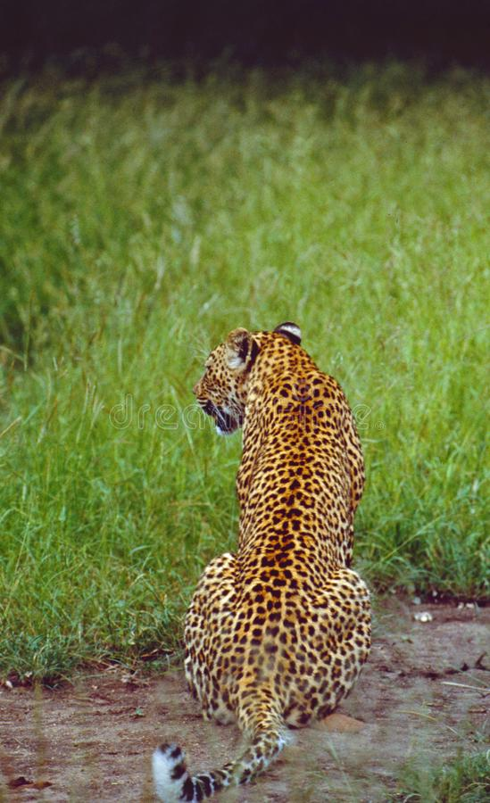 South Africa: Leopard at Shamwari Game Reserve in the Eastern Cape Province stock images