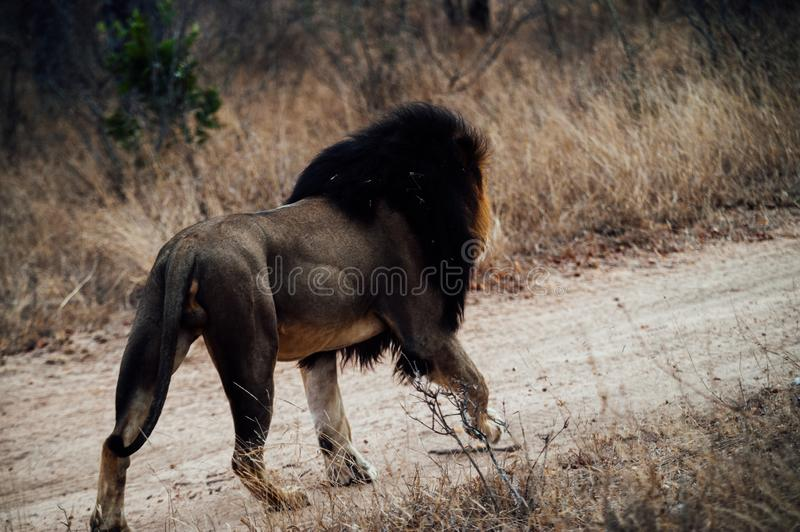 South Africa lion walking alone stock image