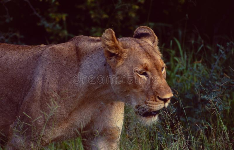 South Africa: A lioness walking through the Bush in the Kalahari. Near HluHluwe National Park royalty free stock image