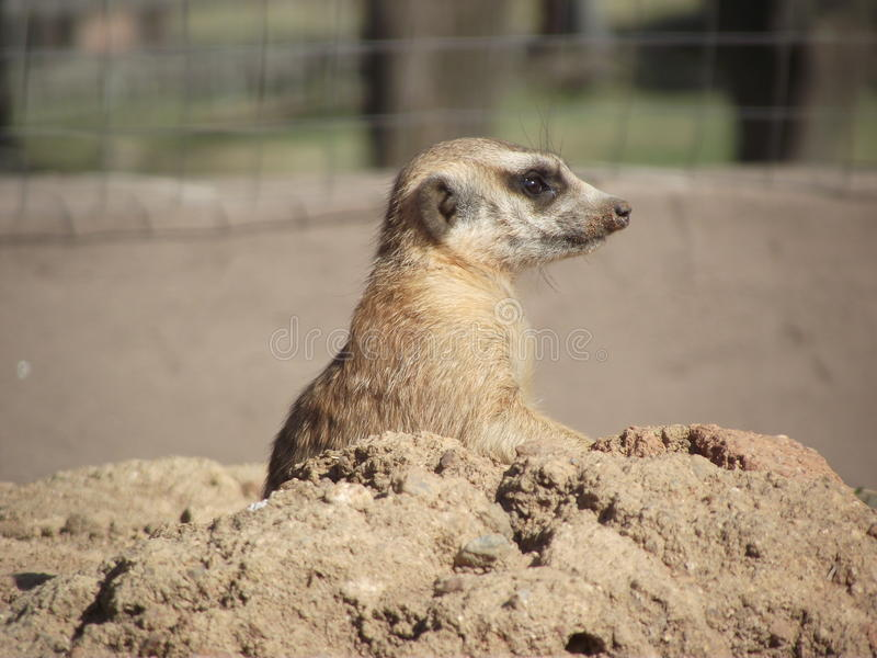 South Africa. Meercat popping up from nest royalty free stock image