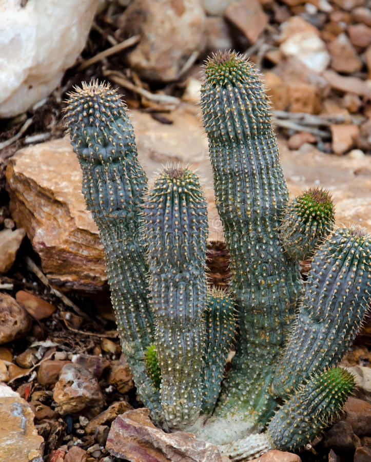 Download South African Cactus stock photo. Image of touch, plant - 30950416